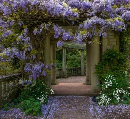 Wisteria in Italian Gardens