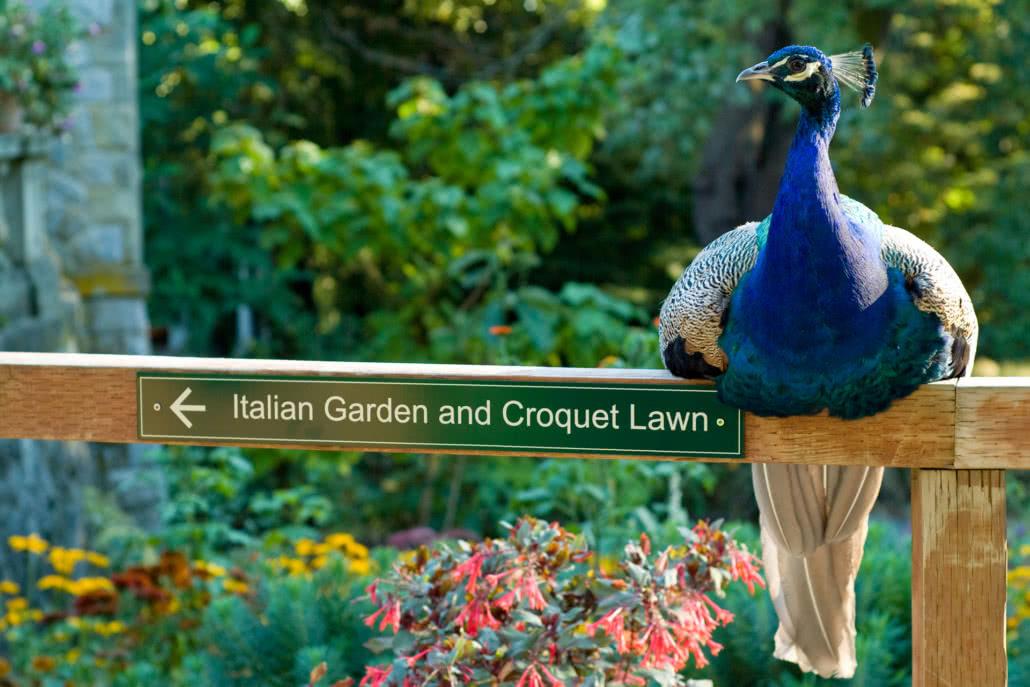 Peacock on garden sign