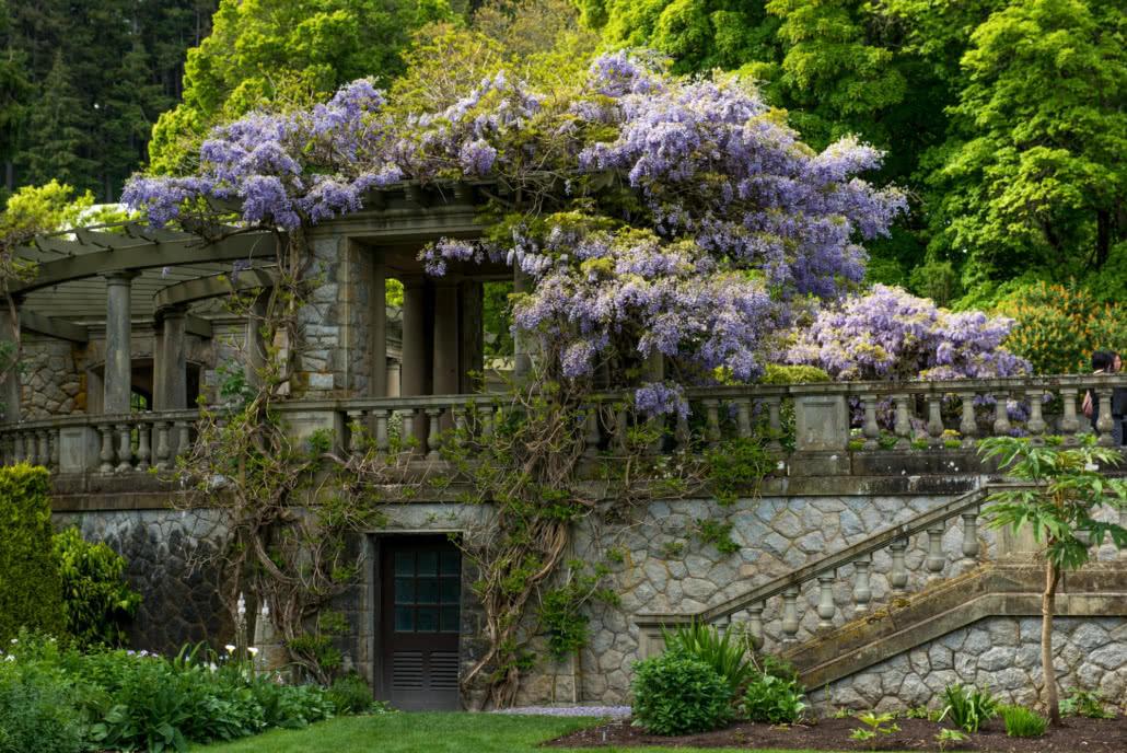 Wisteria in Italian Garden