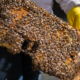 Bees from the Royal Roads apiary